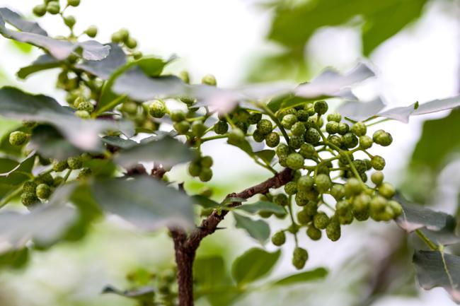 Fresh green Szechuan peppercorn